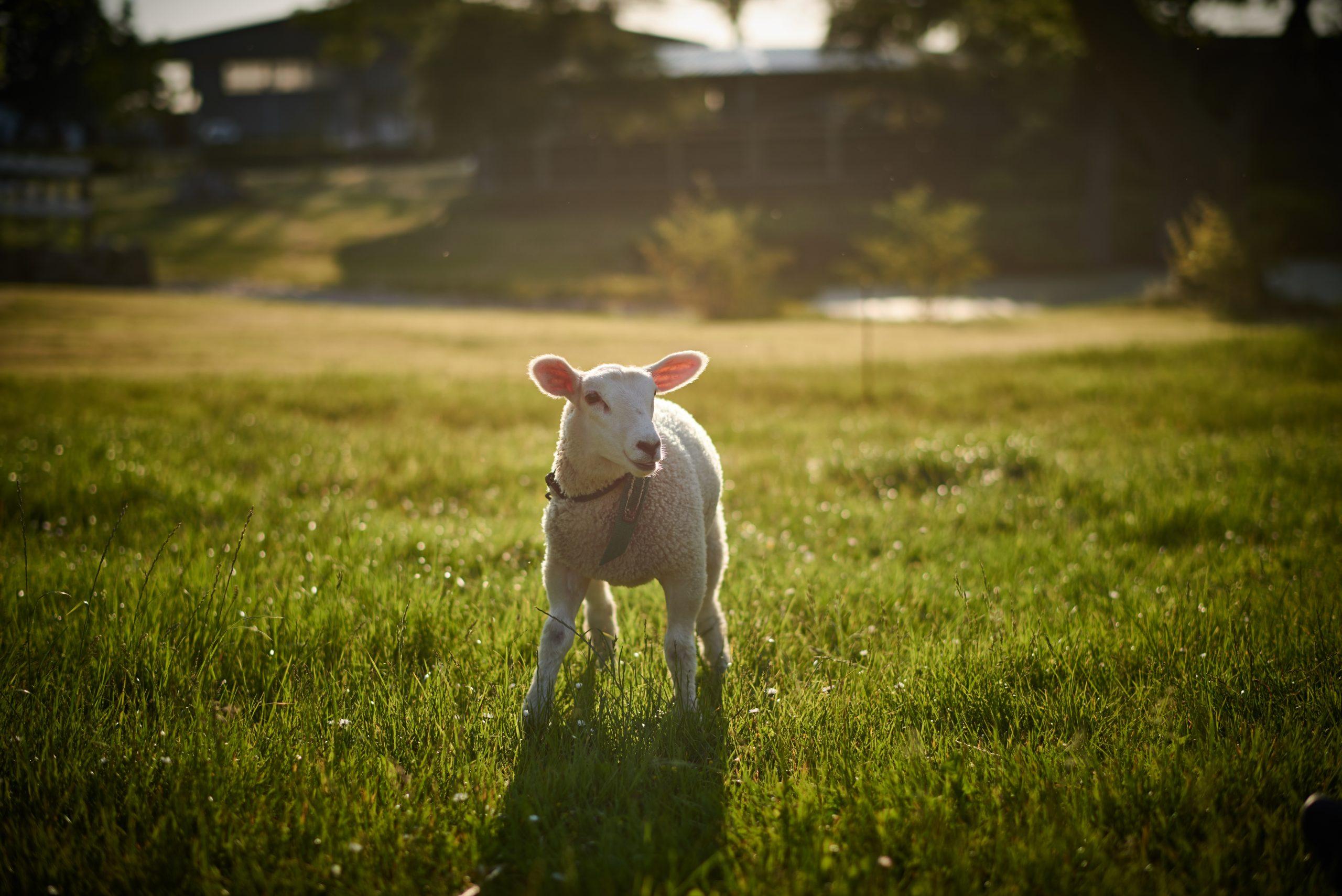 Gut Friederikenhof - kleines Lamm