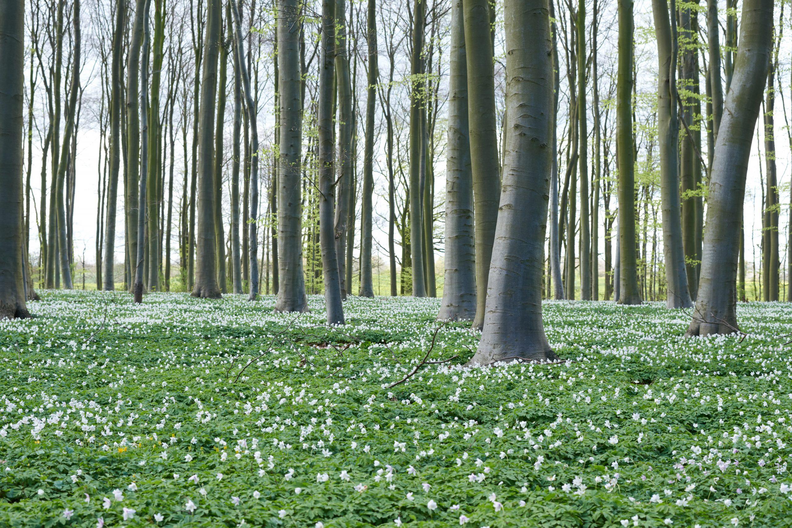 Gut Friederikenhof - der Waldboden erstrahlt voller Anemonen